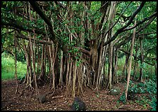 Banyan tree. Haleakala National Park, Hawaii, USA. (color)