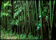 Bamboo forest along Pipiwai trail. Haleakala National Park, Hawaii, USA. (color)