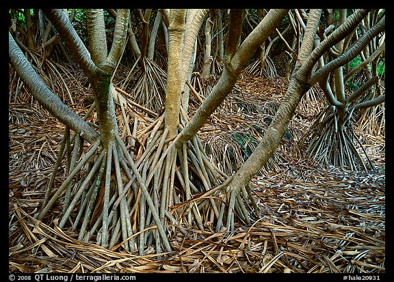 Trunks of Pandanus trees. Haleakala National Park, Hawaii, USA.