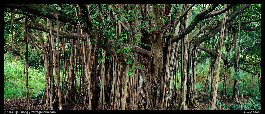 Giant Banyan tree. Haleakala National Park (color)
