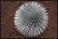 Halekala Silversword (Ahinahina) rosette. Haleakala National Park, Hawaii, USA. (color)
