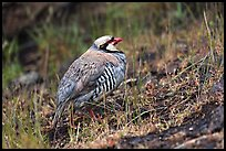 Chukar. Haleakala National Park, Hawaii, USA. (color)