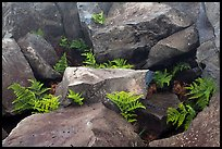 Braken fern (Kilau) and rocks. Haleakala National Park, Hawaii, USA.