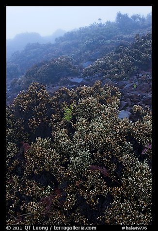Pukiawe berry plants in fog near Leleiwi overlook. Haleakala National Park, Hawaii, USA.