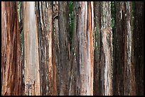 Multicolored Eucalyptus trees, Hosmer Grove. Haleakala National Park, Hawaii, USA. (color)