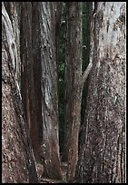 Eucalyptus tree trunks, Hosmer Grove. Haleakala National Park, Hawaii, USA. (color)