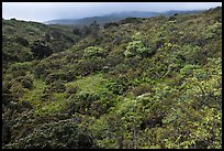 Forested hillside below Haleakala. Haleakala National Park, Hawaii, USA.
