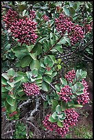 Sandalwood berries. Haleakala National Park ( color)