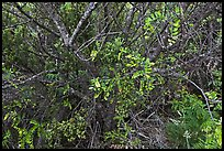 Ohelo (Blueberry family). Haleakala National Park, Hawaii, USA. (color)