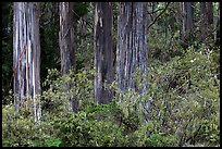 Blue Gum Eucalyptus (Eucalyptus globulus). Haleakala National Park, Hawaii, USA. (color)