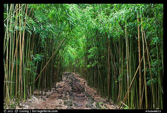 Trail through bamboo canopy. Haleakala National Park (color)