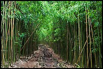 Trail through bamboo canopy. Haleakala National Park, Hawaii, USA. (color)