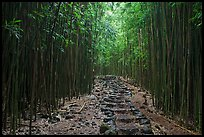 Trail through bamboo forest. Haleakala National Park, Hawaii, USA. (color)