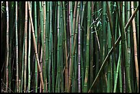 Bamboo stems. Haleakala National Park, Hawaii, USA.