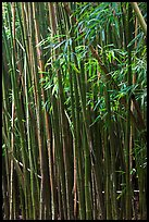 Bamboo stems and leaves. Haleakala National Park, Hawaii, USA. (color)
