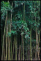 Thick Bamboo forest. Haleakala National Park, Hawaii, USA.