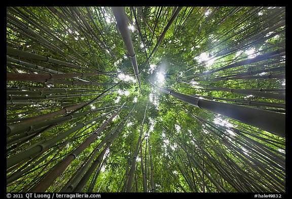 Looking up bamboo forest. Haleakala National Park, Hawaii, USA.
