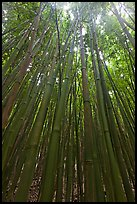 Looking up dense bamboo grove. Haleakala National Park, Hawaii, USA.