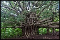Web of wood, Banyan tree. Haleakala National Park, Hawaii, USA.