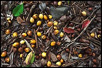 Fallen tropical almond on forest floor. Haleakala National Park, Hawaii, USA. (color)