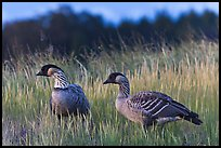 Nene geese. Haleakala National Park, Hawaii, USA.