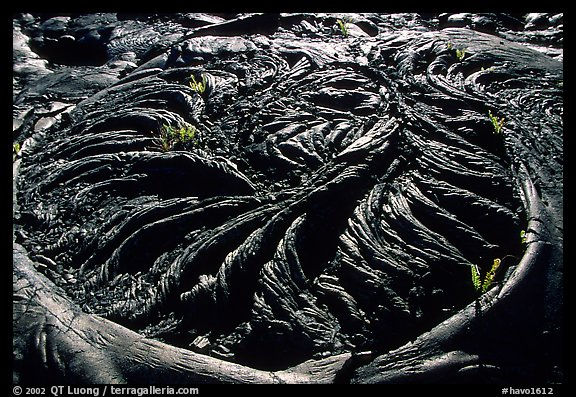 Ferns growing out of hardened pahoehoe lava circle. Hawaii Volcanoes National Park (color)