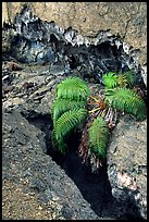 Ferns and lava crust on Mauna Ulu crater. Hawaii Volcanoes National Park, Hawaii, USA.