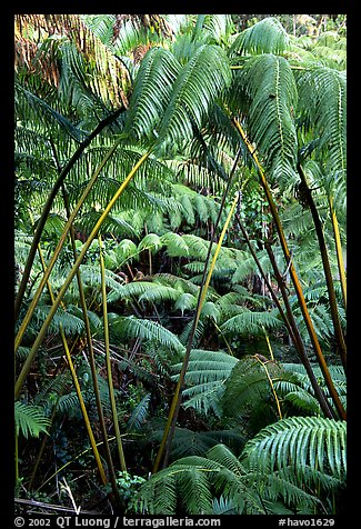 Lush tropical ferms near Thurston lava tube. Hawaii Volcanoes National Park (color)