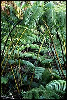 Lush tropical ferms near Thurston lava tube. Hawaii Volcanoes National Park, Hawaii, USA. (color)