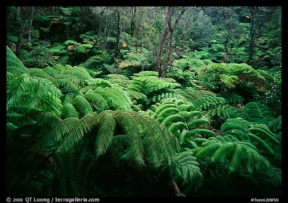 Giant tropical ferns. Hawaii Volcanoes National Park (color)