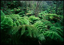 Giant tropical ferns. Hawaii Volcanoes National Park, Hawaii, USA. (color)