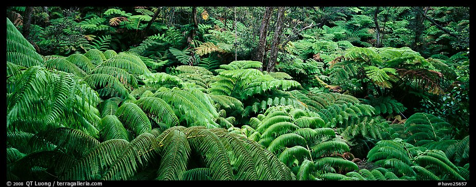 Tropical ferns. Hawaii Volcanoes National Park (color)