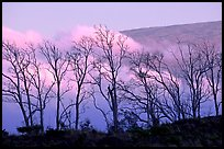 Trees silhouetted against fog at sunrise. Hawaii Volcanoes National Park, Hawaii, USA.