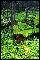 Hawaiian rain forest ferns and trees. Hawaii Volcanoes National Park, Hawaii, USA. (color)