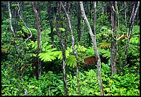 Native Rainforest. Hawaii Volcanoes National Park, Hawaii, USA.