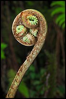 Curled up fiddlehead of Hapuu fern. Hawaii Volcanoes National Park, Hawaii, USA.