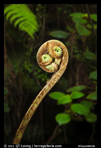 Fiddlehead of Hapuu (Cibotium splendens). Hawaii Volcanoes National Park (color)