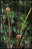 Hapuu (male tree ferns) unfolding. Hawaii Volcanoes National Park, Hawaii, USA. (color)