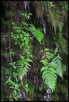 Ferns on cave wall. Hawaii Volcanoes National Park ( color)
