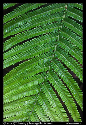 Fern close-up. Hawaii Volcanoes National Park (color)