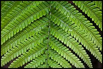 Tropical fern frond. Hawaii Volcanoes National Park, Hawaii, USA. (color)