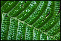 Fern leaf close-up. Hawaii Volcanoes National Park, Hawaii, USA.