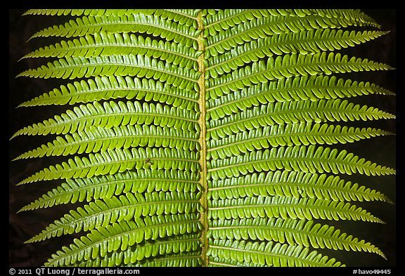 Tropical fern leaves. Hawaii Volcanoes National Park (color)