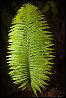 Fern leaf. Hawaii Volcanoes National Park, Hawaii, USA. (color)