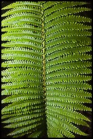 Fern frond close-up. Hawaii Volcanoes National Park, Hawaii, USA.