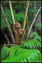 Crozier of the Hapuu tree ferns. Hawaii Volcanoes National Park, Hawaii, USA.
