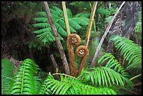Hapuu tree ferns with crozier fronds. Hawaii Volcanoes National Park ( color)