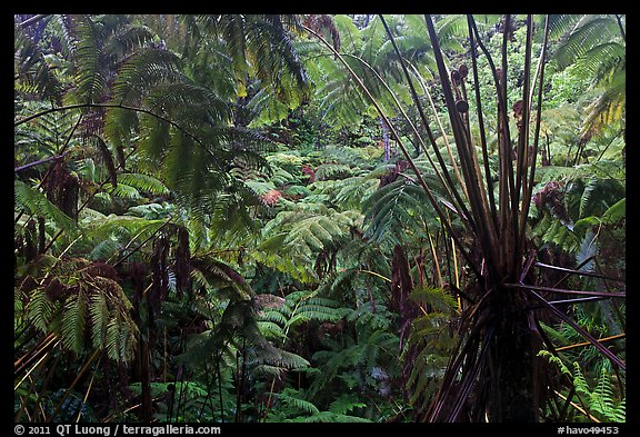 Rainforest with Hawaiian tree ferns. Hawaii Volcanoes National Park, Hawaii, USA.