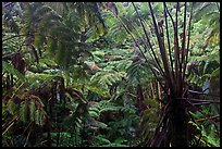 Rainforest with Hawaiian tree ferns. Hawaii Volcanoes National Park, Hawaii, USA. (color)