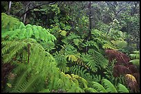 Rain forest with giant Hawaiian ferns. Hawaii Volcanoes National Park, Hawaii, USA. (color)